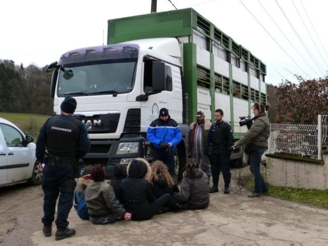Les vaches maltraitées de Saint-Vit. Blocage des camions au départ vers l'abattoir   Photo Humanimo