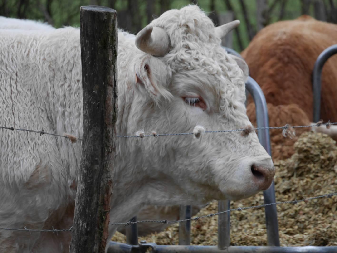 Les vaches de St Vit