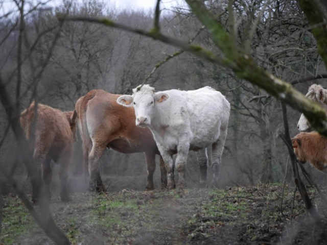Les vaches maltraitées de Saint-Vit | Photo Humanimo