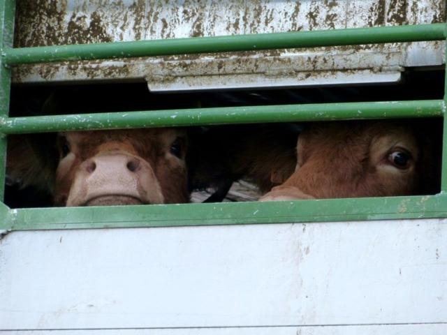 Les vaches maltraitées de Saint-Vit. Départ pour l'abattoir d'une partie des vaches par les autorités   Photo Humanimo