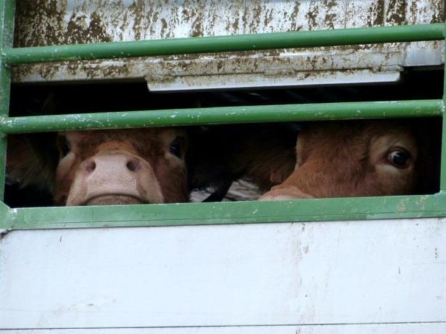 Les vaches maltraitées de Saint-Vit. Départ pour l'abattoir d'une partie des vaches par les autorités | Photo Humanimo