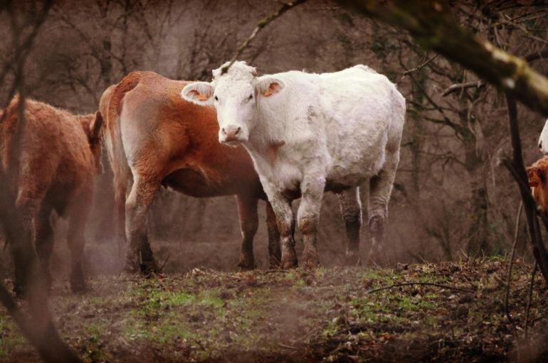 """L'échec des autorités dans l'opération de """"sauvetage"""" des vaches de St-Vit"""