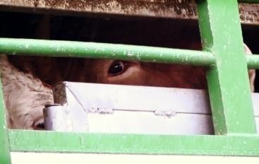 200 vaches du troupeau de St Vit ont été tuées aujourd'hui