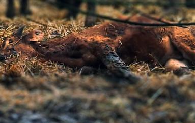 Urgence sanitaire. Près de 200 vaches condamnées à mort