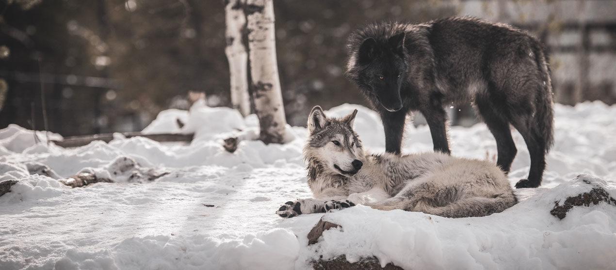 La Suisse autorise l'abattage de deux loups Jurassiens